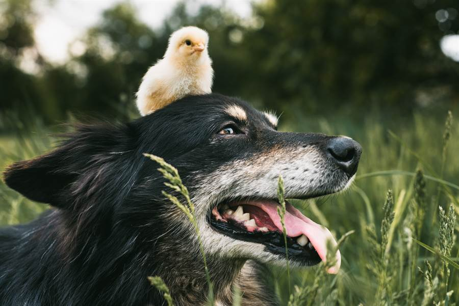 殘障狗流浪街頭,而母雞竟細心的照顧牠,牠們彷彿是伴侶一樣(示意圖/達志影像)
