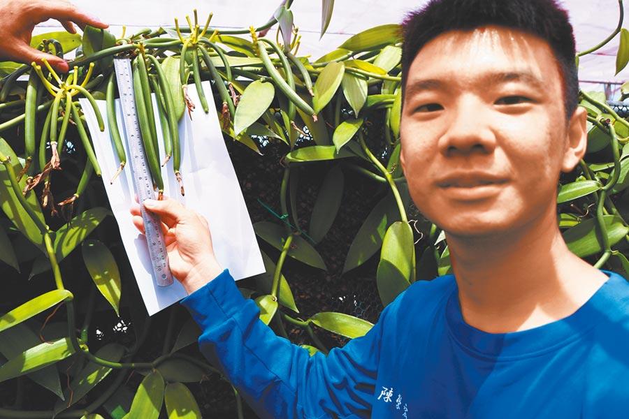 佳冬高農農場經營科研究發現,香莢蘭透過搭建紅色網室、水牆栽培等方式,不僅將3年的生長期縮短至2年,還能種出長至20公分的A級品。(謝佳潾攝)