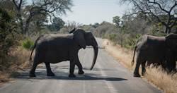 非洲350頭大象「謎樣身亡」 離奇身亡原因曝…恐是毒水惹禍