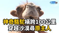 神奇駱駝橫跨100公里 穿越沙漠尋原主人