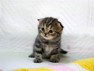 小奶貓喪屍上身狂咬愛睏大金毛 反被一掌打趴呆萌並軌