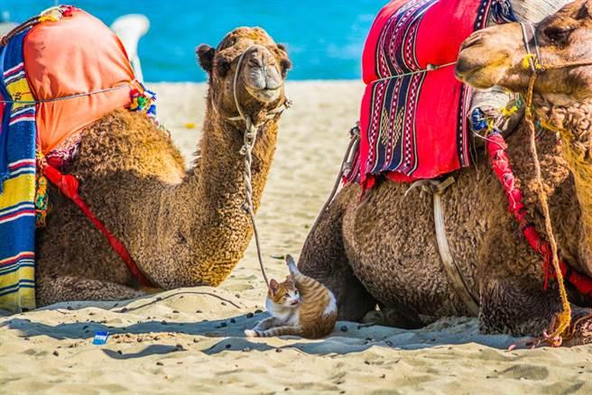 貓咪陪嫁鏟屎官移民阿拉伯 整座沙漠成了遛貓遊樂場