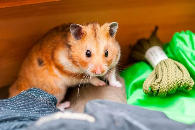 @junso6985貼出飼養的倉鼠照,只見牠滿臉皺紋、眼睛下垂,讓17萬人相當吃驚(示意圖/達志穎像)