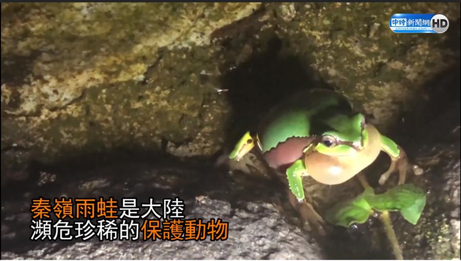 秦嶺雨蛙是大陸瀕危的保護動物。
