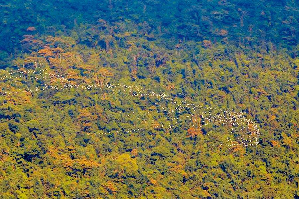 嘉義縣梅山鄉太興村萬鷺朝鳳是難得一見奇景,約在每年8月底登場。(本報資料照片)