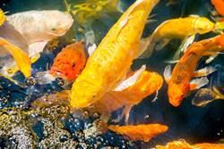貓靠近池塘想吃魚主人卻不擔心 打破食物鏈反應太神奇