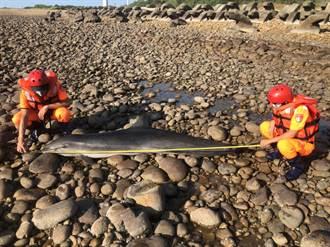 罕見出沒西部海域  雄性弗氏海豚死因釐清中