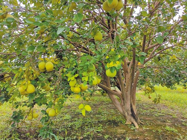 台南文旦進入採收期,柚農認為今年全台各地採收期相近,白柚、紅柚一起搶市,擔心價格受影響。(劉秀芬攝)