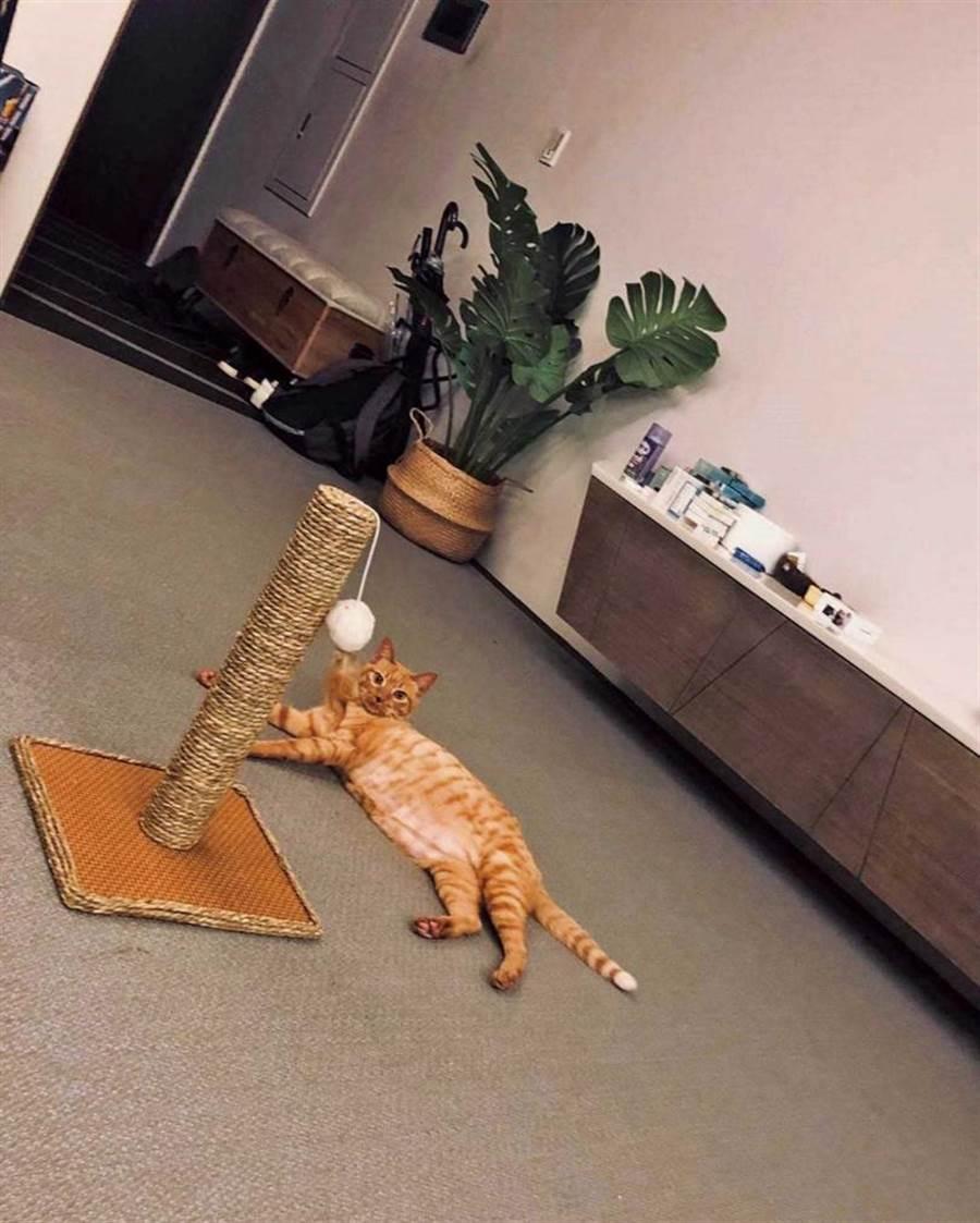 啾啾慵懒躺在地上玩玩具,模样十分可爱。(图/齐石传播提供)