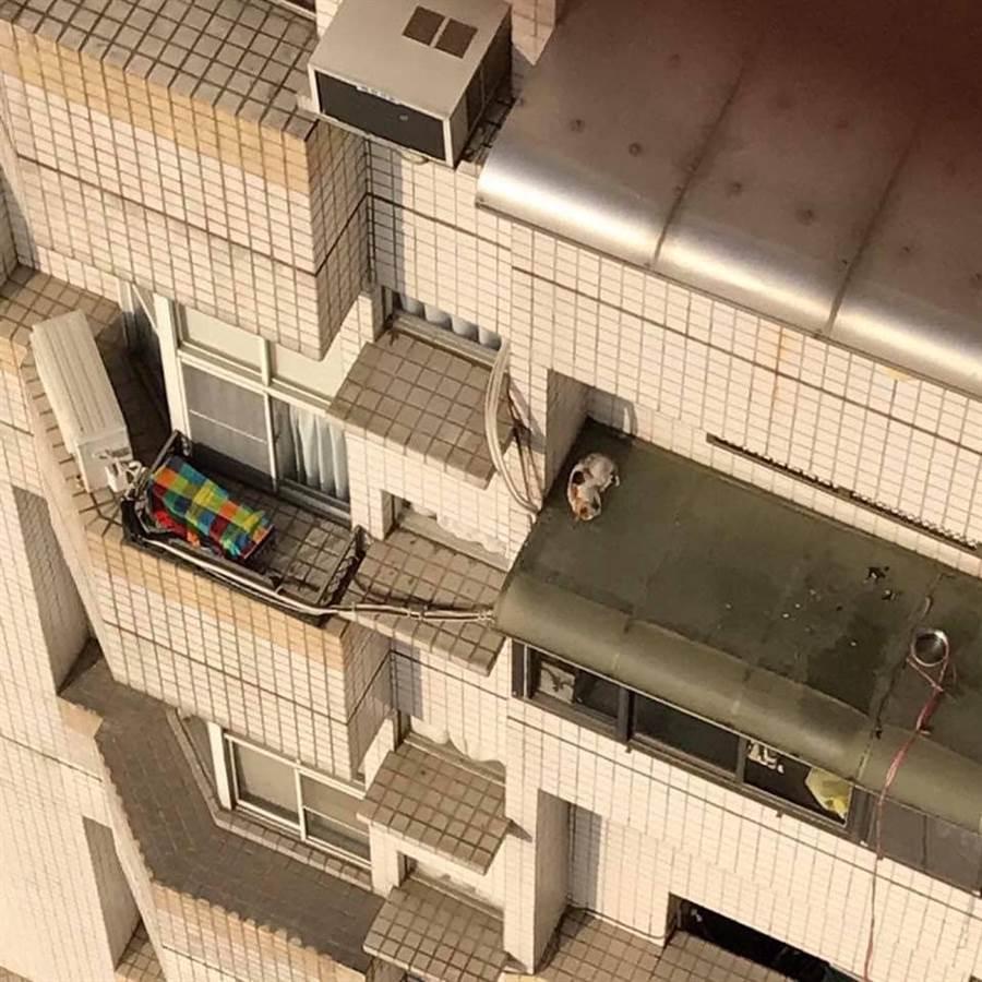 瘦弱三花貓受困8樓遮雨棚。(圖/飼主Ting Ying Lin授權提供,未經許可請勿擅自取用,避免侵權)
