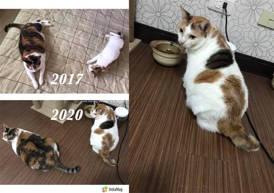 沒想到如今3年半過去了,Mi Lu的身材也日漸走鐘。(圖/飼主Ting Ying Lin授權提供,未經許可請勿擅自取用,避免侵權)
