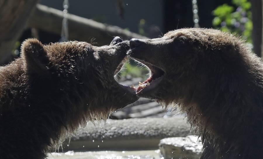 俄罗斯一名11岁小男童为了在同龄女孩面前耍帅,在棕熊栅栏前不停做出挑衅动作,没想到竟然被棕熊从笼子下方的洞口拖进笼内,被两只棕熊「当球玩」后咬烂身体,当场死亡。(示意图/美联社)