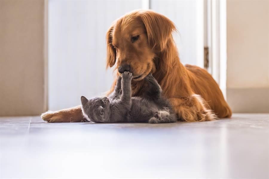 英國獒犬一直找貓玩,但貓皇完全沒有興致,竟耍詐把對方關進籠子裡(示意圖/達志影像)