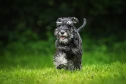 愛犬「預知危險」散步突撞倒主人 他回頭一看嚇歪