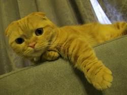 圓滾橘貓被迫剃光全身毛 竟變種成「謎樣生物 」 萬人笑歪