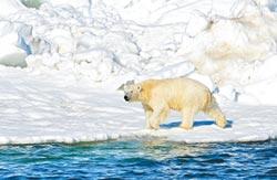 北極熊本世紀將滅絕