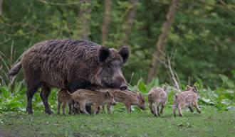 全裸阿伯在草原上猛追母豬 路人全看傻