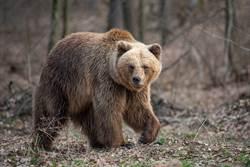 棕熊闯露营区好奇闻脚丫 男吓坏狂抖结局爆笑