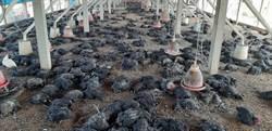 焚風吹雞屍遍場 二林土雞場確診禽流感撲殺1萬6031隻