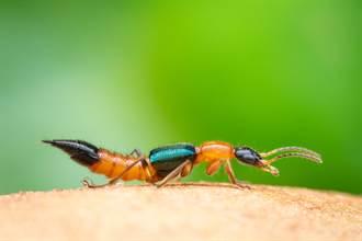 隱翅蟲的名字怎麼來的?20秒影片一看秒懂