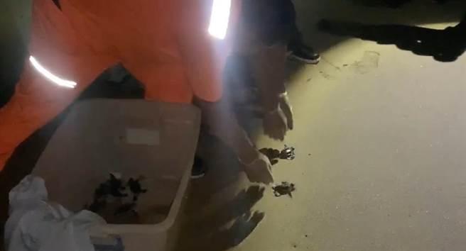 24隻「迷航小綠蠵龜」9日晚間被發現在墾丁夏都飯店的私人沙灘爬行,經通報海生館後,確定雉龜是因趨光性誤導往燈光處爬行而迷途。(海巡署提供/謝佳潾屏東傳真)