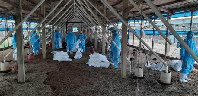 林土雞場確診禽流感撲殺1萬6031隻。(彰化縣動物疾病防疫所/吳敏菁彰化傳真)
