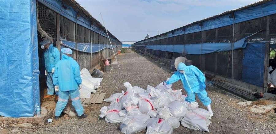高溫再爆禽流感,二林土雞場撲殺1萬6031隻。(彰化縣動物防疫所提供/吳敏菁彰化傳真)