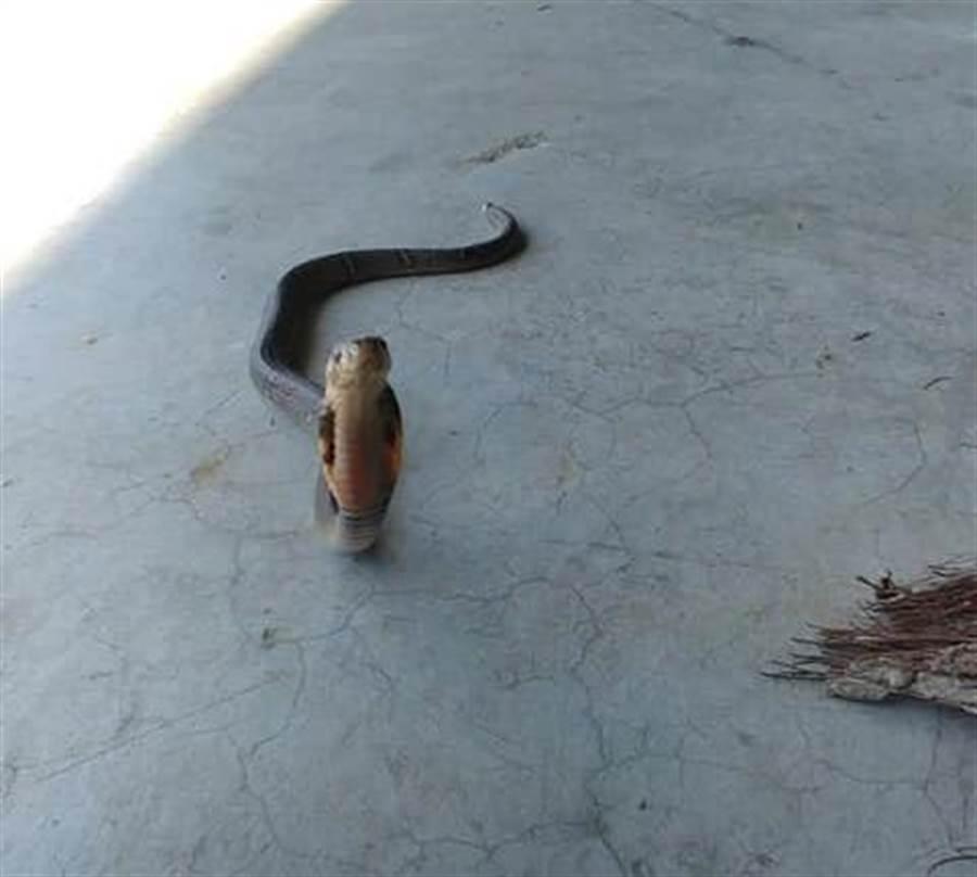 拍照紀錄時,眼鏡蛇竟看鏡頭萌笑 (圖/張菈菈授權提供)