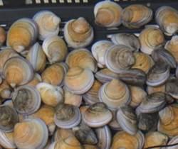 環文蛤人工繁殖成功 貝類復育再添一員