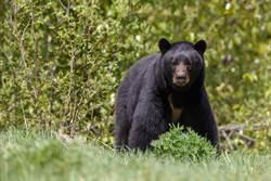熊抱登山妹狂吸體香爆紅 色熊驚傳被捕還慘遭閹割