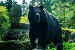 狂蹭熱褲女遊客!「爆紅大黑熊」睡夢中被抓去去勢…科學家:此舉是必要的