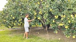 米克拉來襲 麻豆柚農搶收大果