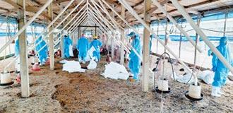 彰化再爆禽流感 撲殺1.6萬隻雞