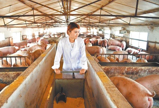 豬價飆升,大陸養豬企業大豐收。圖為河北一養豬業者給豬隻投放飼料。(新華社)