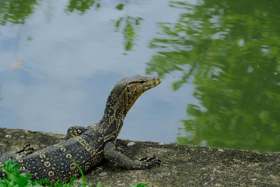 泰國常出現水巨蜥入侵民宅的社會案件。(示意圖/Shutterstock)