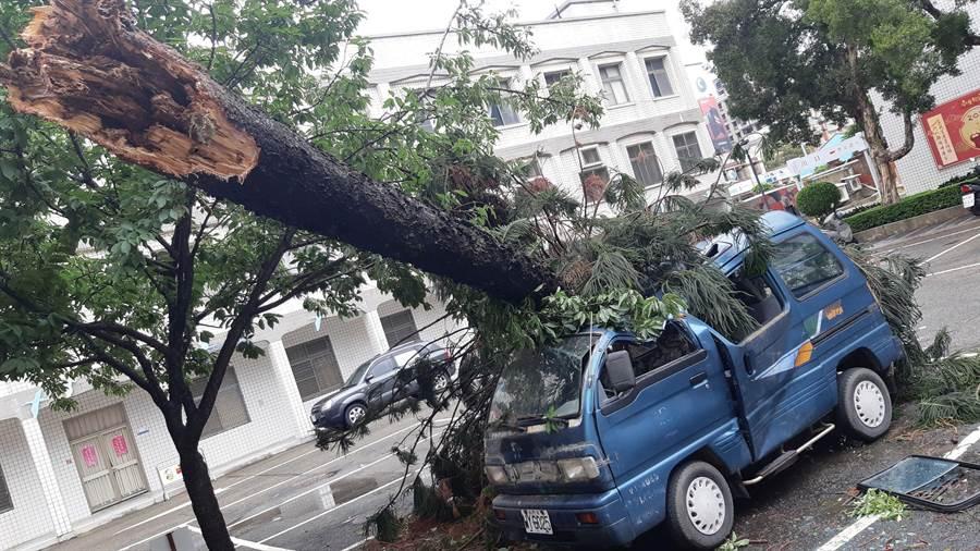 米克拉颱風掃過金門,颳倒縣府內1棵南洋杉壓毀小貨車,景況讓人怵目驚心。(李金生攝)