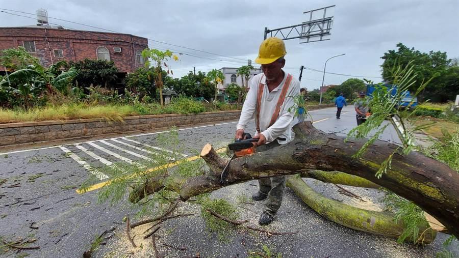 縣林務所動員大批人力、機具移除風倒樹木之一。(金門縣林務所長鐘立偉提供)