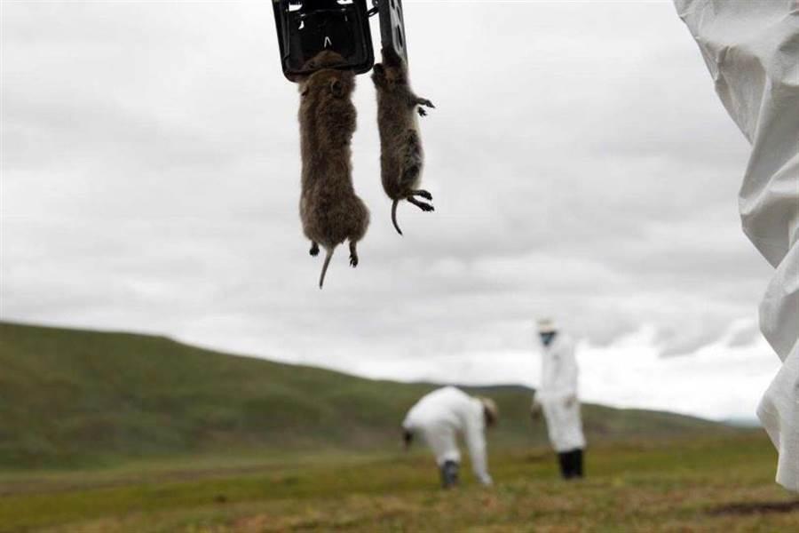 5000年前的歐洲人就曾被鼠疫侵犯!(圖/Reuters)