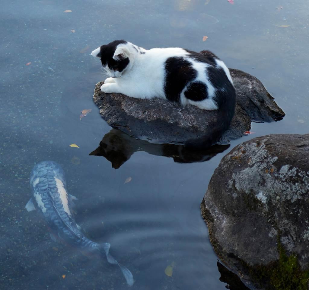 貓咪靜靜呆坐池塘邊 鯉魚下秒竟「嘟嘴討親親」(示意圖/達志影像)