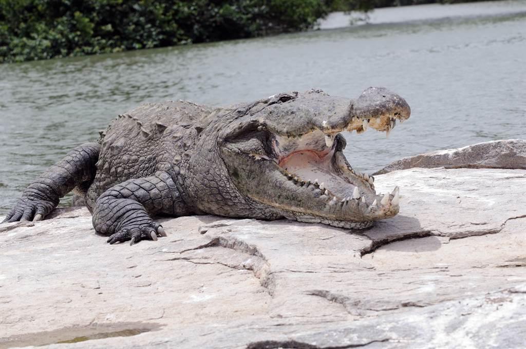 堅信是「惡魔化身」 500公斤老鱷魚慘遭村民斬首支解(示意圖/達志影像)