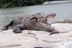 堅信是「惡魔化身」 500公斤老鱷魚慘遭村民斬首支解
