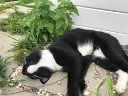 還在猜是誰咬爛貓大麻 回頭看到喵爺嗨到升天「一臉爽樣」