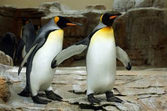 企鵝不玩水消暑直挺定格岸邊 他抬頭見亮點秒懂