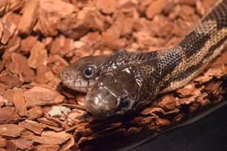 世上最致命雙頭毒蛇 超肥身軀狂扭驚悚畫面曝光