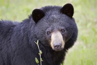 野生大黑熊突靠近!5人1熊淡定同桌 還抹花生醬餵牠吃