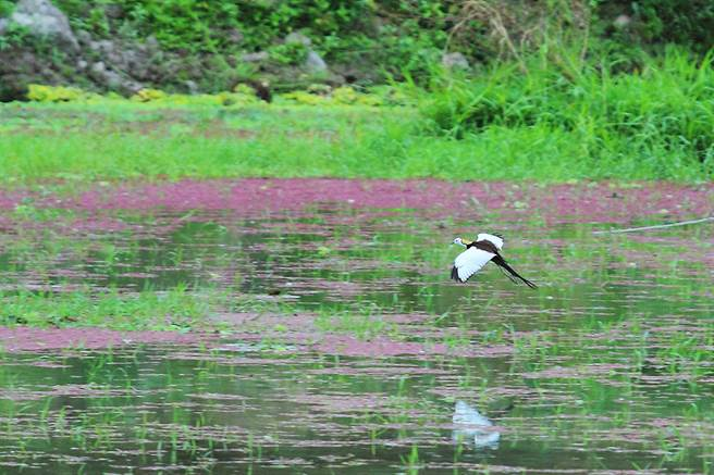 水雉飛行時體態優雅輕盈。(攝影/Carter)