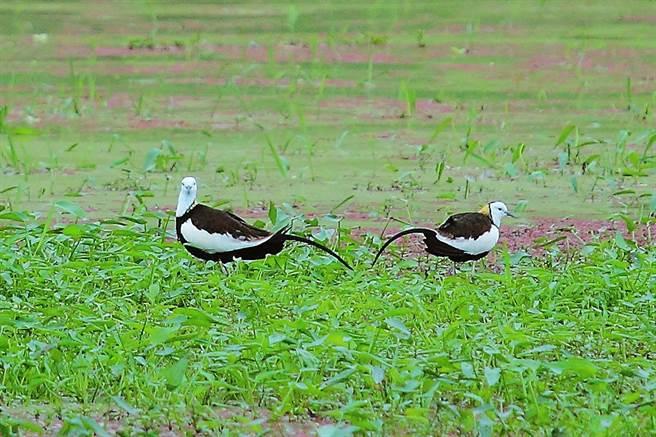 每年四月至九月是水雉繁殖季。(攝影/Carter)