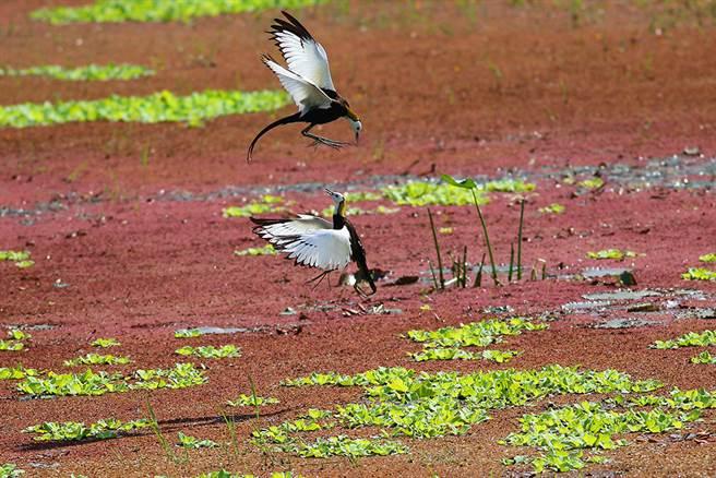 兩隻公鳥對峙領域保衛戰正上演。(照片提供/美濃湖水雉棲地志工鄭智仁)