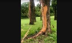 驚見高球場巨樹遭雷擊「碎屑散滿地」 球友嚇喊:快逃啊