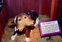 印尼驚現罕見「雙面牛」 2小嘴同時喝奶當地人瘋圍觀